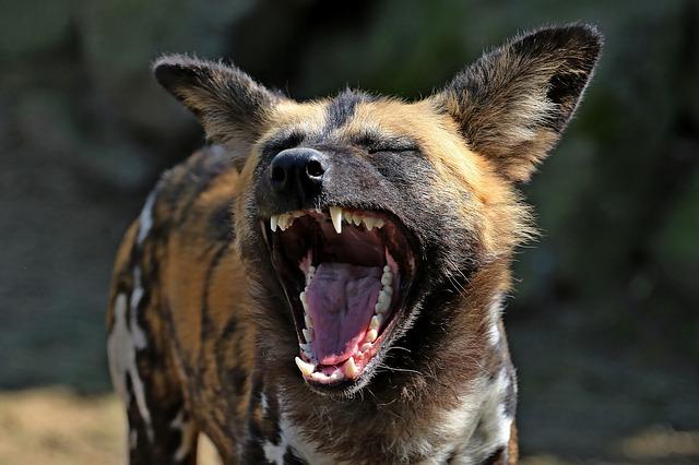 smějící se hyena