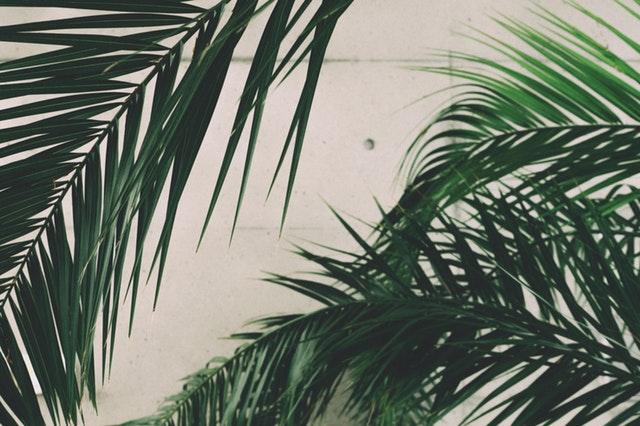 Veľké zelené palmové listy pred betónovou stenou.jpg